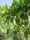 grapefruitt.JPG